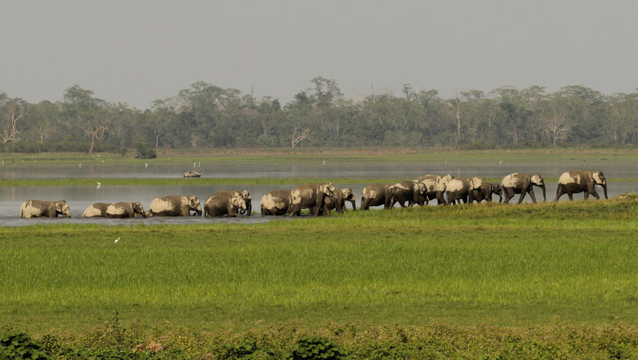 A female herd entering the Sohola Beel. Refuting previous research and understanding, recent studies show that tusks in male elephants do not have the advantage of being an ornament to attract their female counterparts. Photograph by:   Kumar Sambhav ShrivastavaRelated story: Towards a tusk-less future