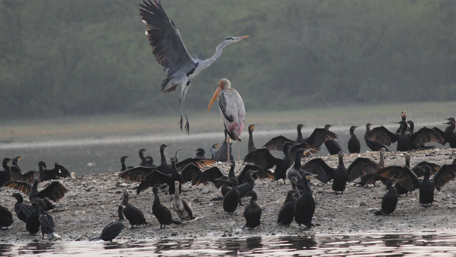 Soor Sarovar Bird Sanctuary near Agra in Uttar Pradesh is home to more than 160 bird species, including endangered ones like black-necked stork, painted stork, oriental darter, oriental white ibis, spot-billed pelican and Dalmatian pelican  Photograph by Kumar Sambhav ShrivastavaRead story: Bully among birds