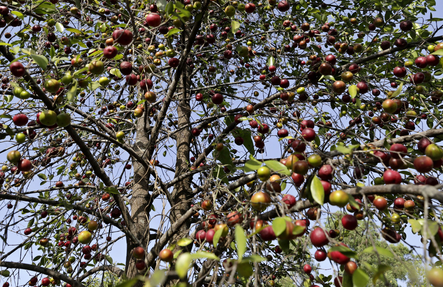 According to a few local groups, this is because till 2010, close to 85 per cent of the fruit used to go waste every year
