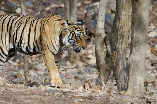 Tiger population doubles after tribals allowed to coexist in tiger reserve