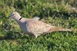 Malta allows recreational hunting of 5,000 turtle doves