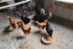 US scientists develop vaccine that protects chickens from bird flu