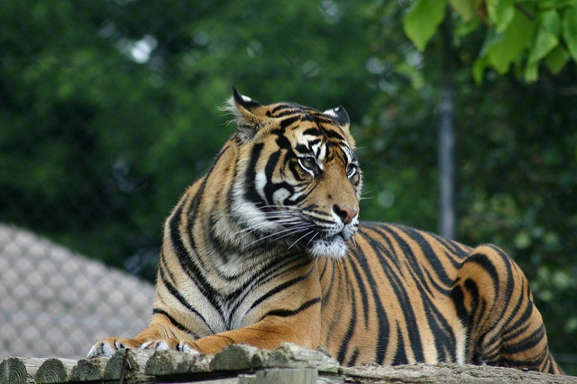 On the Global Tiger Recovery Program, the tiger range countries (Bhutan, Bangladesh, India, Indonesia and Cambodia) presented their reports Credit: Dave Stokes/Flickr