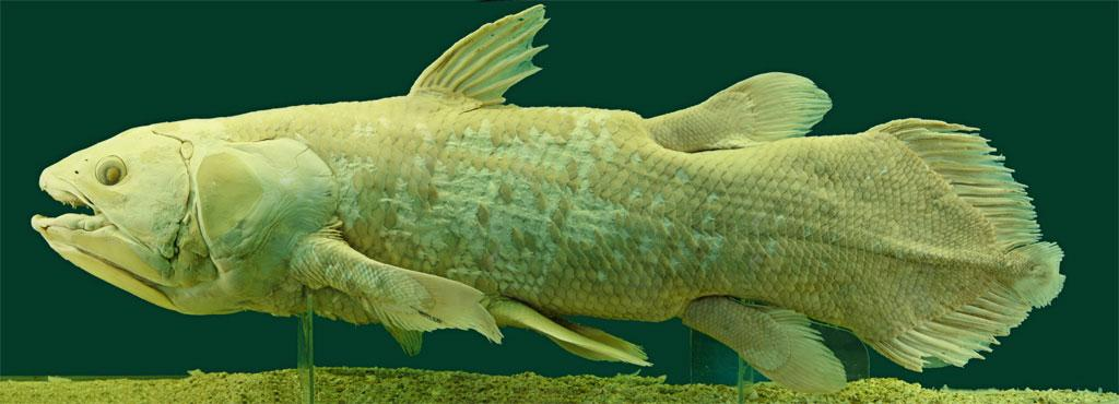 Coelacanth: extinct for millions of years … then found alive. (Source: By Alberto Fernandez Fernandez, Wikimedia Commons, CC BY-SA)