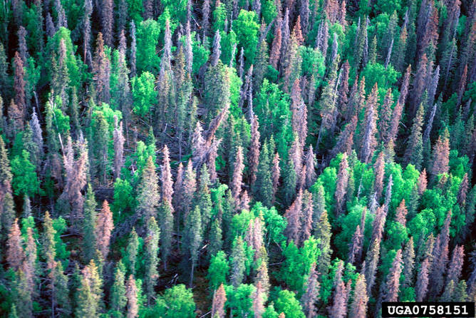Severe drought has contributed to the widespread bark beetle damage and tree mortality in pine forests in the western US. (Photo: US Department of Agriculture CC BY-ND)