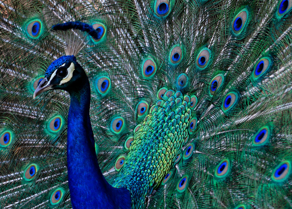 The peafowl is accorded maximum protection under the Indian Wildlife Protection Act. Madison Berndt/Flickr