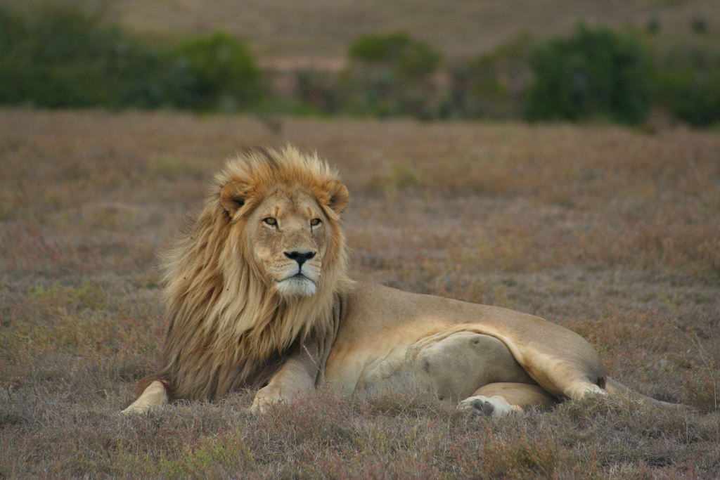 'Born Free Foundation' urges US and EU to end import of lion trophies