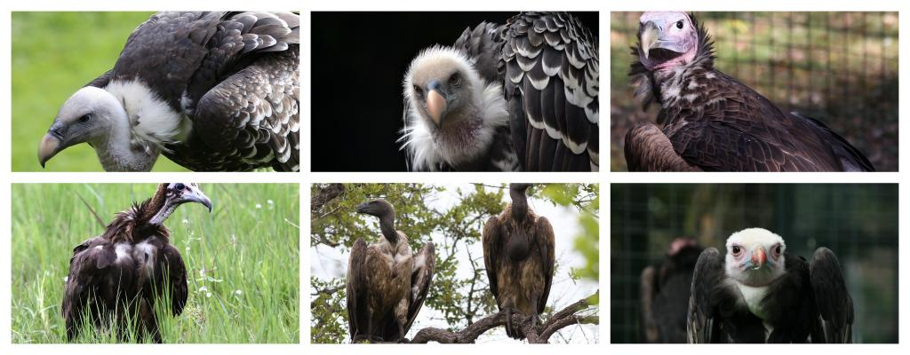 (Clockwise from left) African White Backed Vulture, Rüppells Vulture, Lappet-faced Vulture, Hooded Vulture, Cape Vulture and African White-Headed Vulture. All six species' statuses were updated in the study. Credit: Flickr