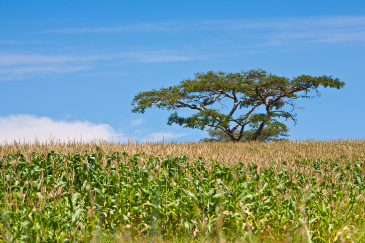 According to this report, the current dietary pattern of Africa, mostly dominated by corn, is also in transition (Photo credit: Thinkstock)
