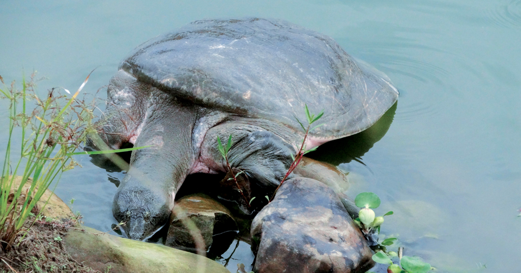 Turtles need sandy space to nest, which was not available after the construction of the lake embankments