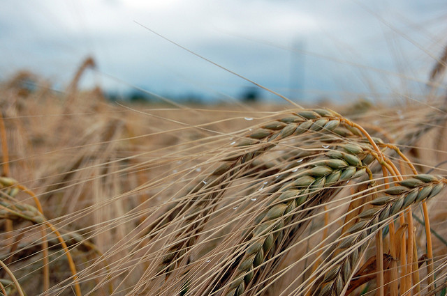 Weather patterns associated with El Niño have influenced crops across the world, thereby affecting the Food Price Index (Clare Bell/Flickr)