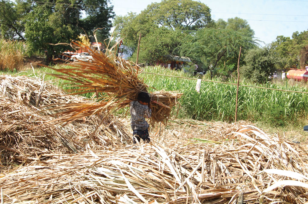 Farmers have ditched fodder crops for cash crops and pulses that get government support