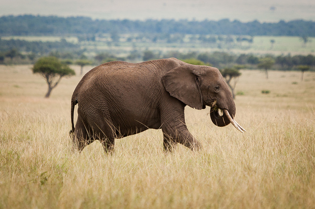Approximately 30,000 elephants are killed in Africa every year to fuel the ivory trade (Matt Biddulph/Flickr)