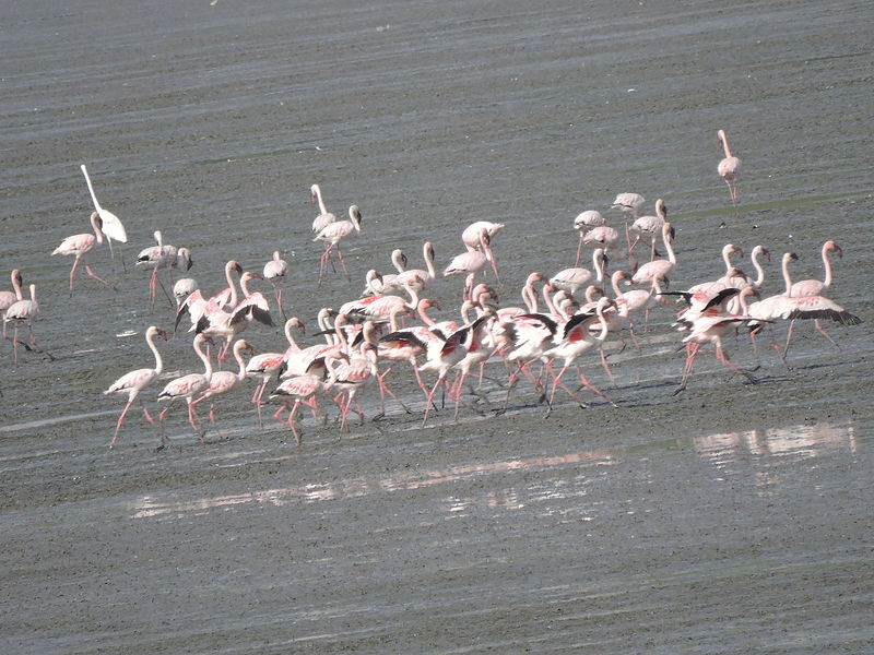 Lesser Flamingoes at Sewri Flamingo Point in Sewri, Mumbai   Credit: Wikimedia Commons