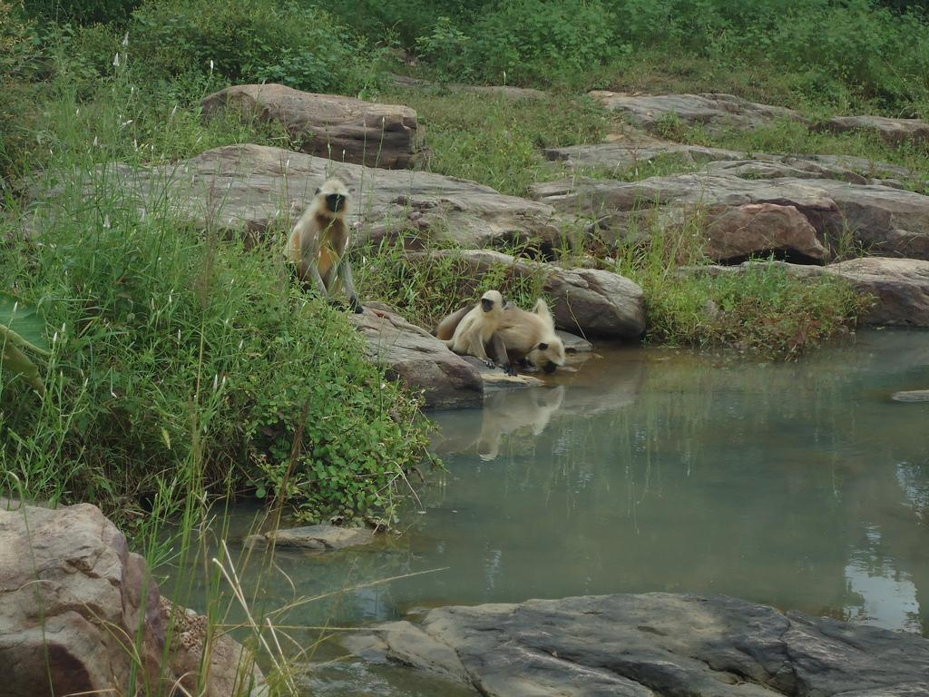 Langurs drinking at a waterfall in the Panna Tiger Reserve. Credit: Felix Dance, Flickr