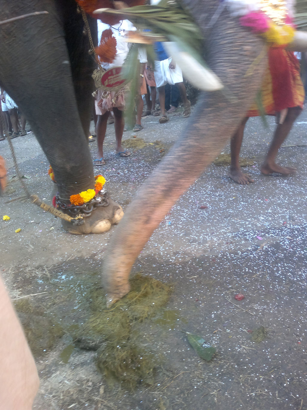 A mobile phone image provided by Heritage Animal Task Force shows an elephant in musth being used in a procession in Kerala. Chains have been used around the elephant's foot to suppress musth