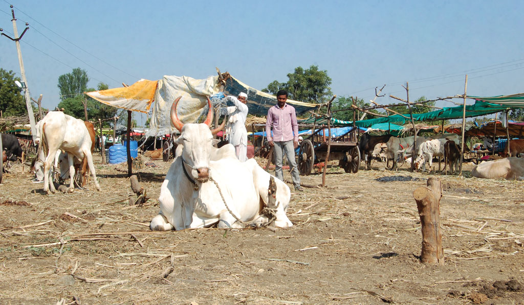 The number of cattle sellers at a weekly animal fair at Neknoor village in Maharashtra's Beed district has tripled because of acute fodder shortage in the area (Photographs: Ganesh Sudhakar Dahiwale)