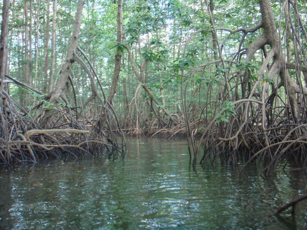 Areas without mangroves are likely to widen from erosion, as more water would encroach inwards whereas mangrove forests prevent this effect