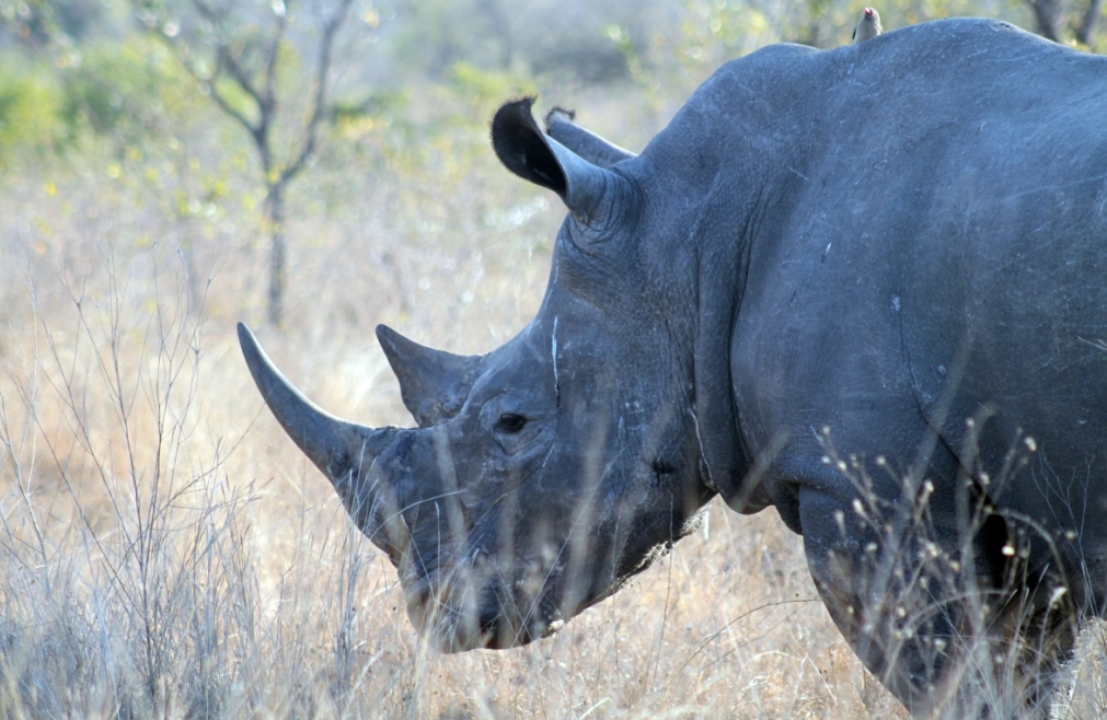 Rhino in South Africa's Kruger National Park Credit: Flickr