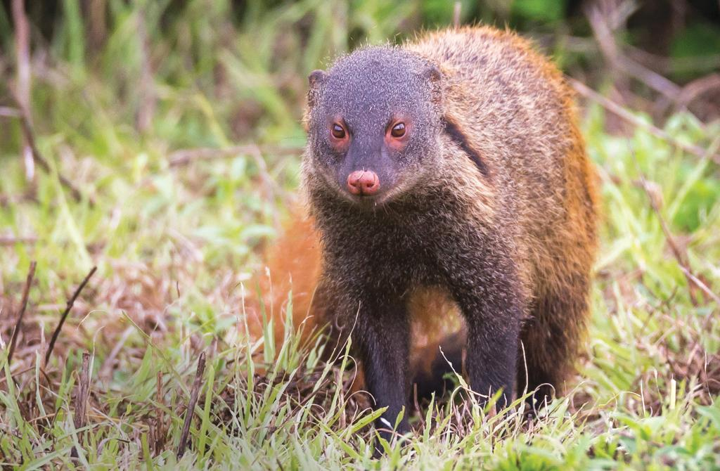 is illegal trade pushing the mongoose towards extinction