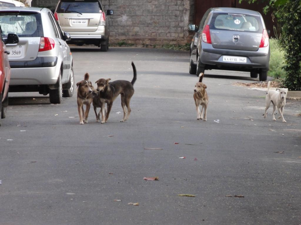 A pack of stray dogs Credit: Flickr