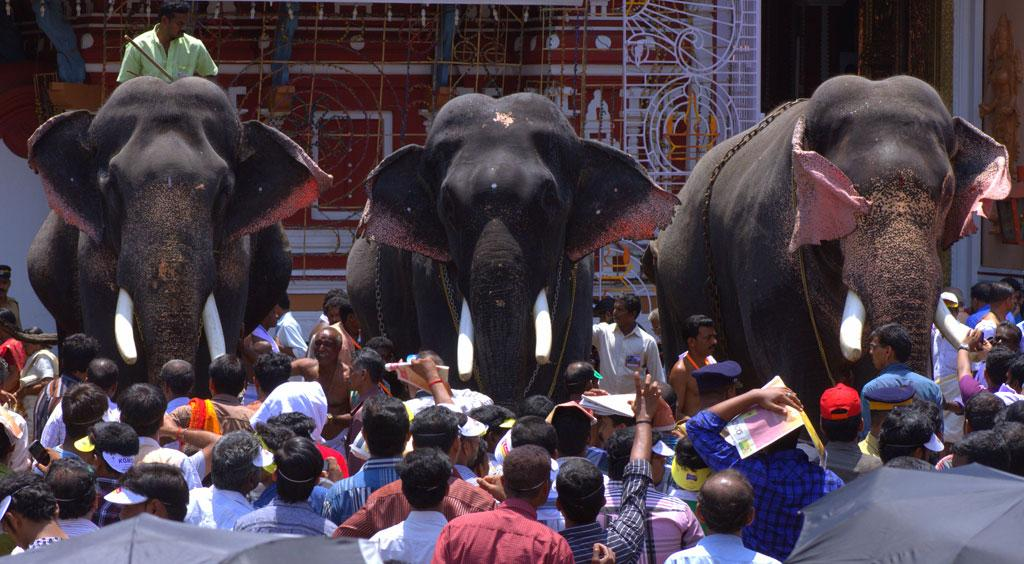 Captive elephants are paraded in temple festivals in Kerala (Credit: Naseer K A)