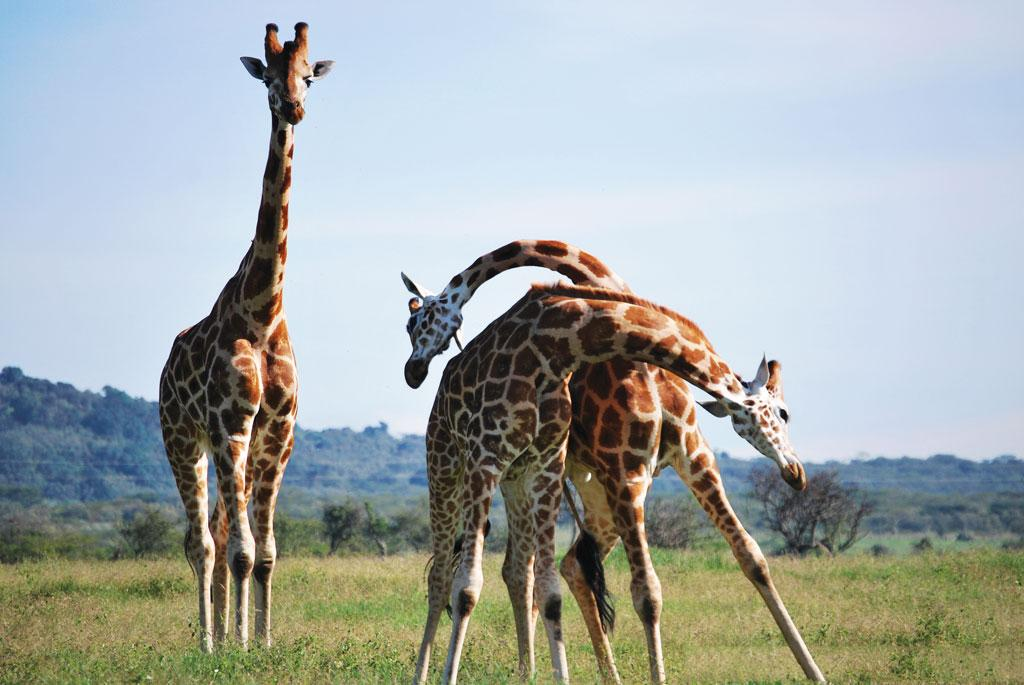 Less than 1,000 Rothschild giraffes are left in the wild (Photo: Zoe Muller)