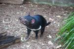 Study advocates re-introducing Tasmanian Devil to Australian mainland