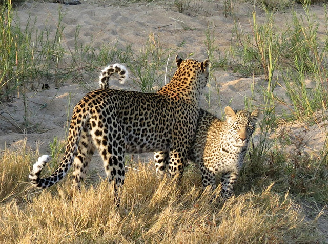 South Africa bans leopard hunting for this year