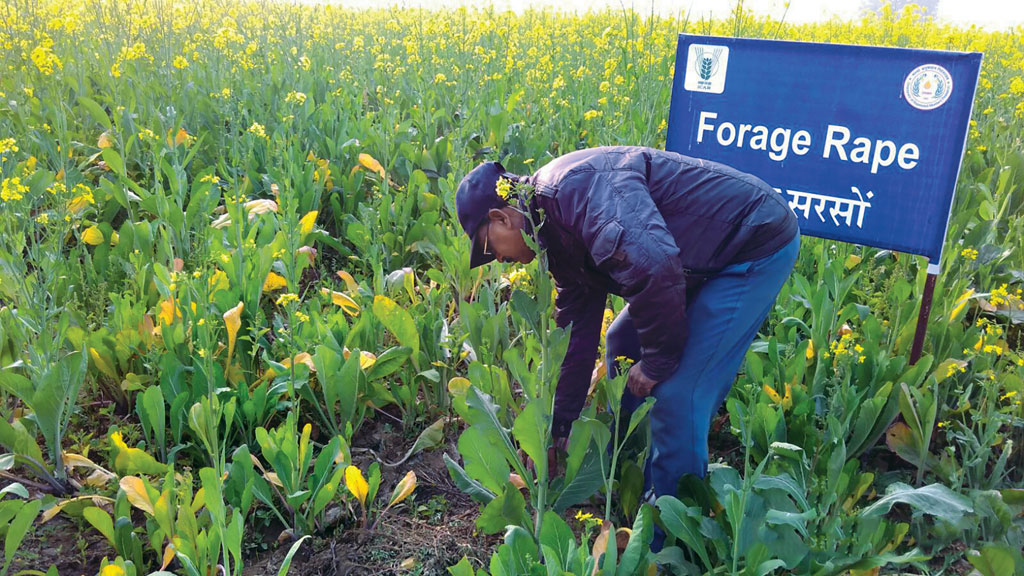 ICAR-Directorate of Rapeseed- Mustard Research, Bharatpur, Rajasthan, is working on a forage rape plantation that can be used for grazing (Photo: Eklavya Kumar)