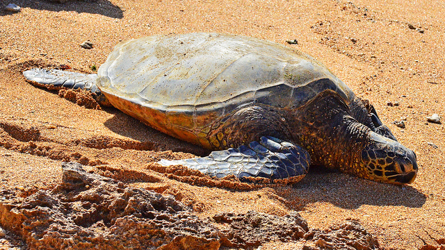 Officials say the turtles washed ashore after being hit by fishing trawlers (Edmund Garman/Flickr)