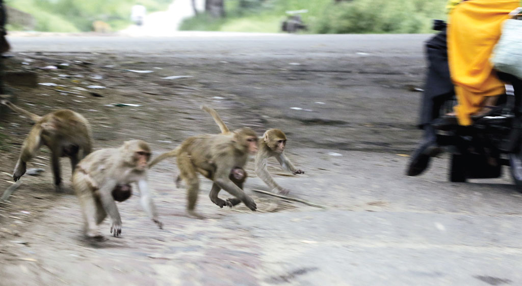 Out of control: why monkeys are a menace