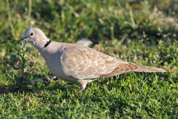 The number of turtle doves has declined by more than 30 per cent over the European continent in the past 16 years (Photo credit: Thinkstock)