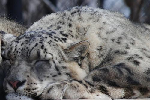 Tiger conference: snow leopard, big cat conservation and tackling wildlife crime high on radar