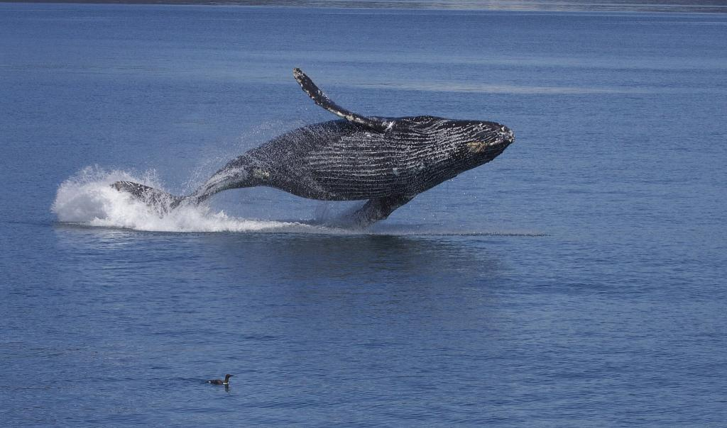 Whales are the largest animals that ever lived on the Earth (Photo: Gregory
