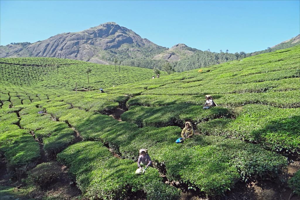 The working conditions in tea plantations are in question as employees are starving to death. Credit: Jean-Pierre Dalbéra F/Flickr
