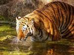 India's tiger population up from 2,226 to 2,500: Javadekar
