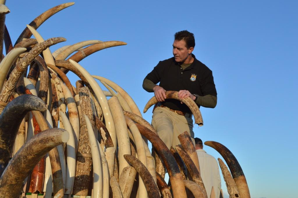 An official of the United States Fish and Wildlife Service assembles seized ivory to destroy it. Sri Lanka has now followed the US and 14 other countries in destroying illegal ivory. Credit: Flickr