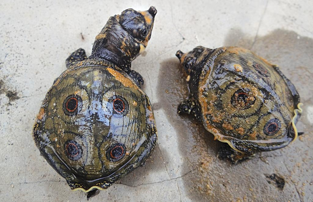 Thrity five turtles have been shifted to the Sepahijala Zoological Park in Bishalgarh, Tripura, on an experimental basis (Photographs: Biswendu Bhattacharjee)