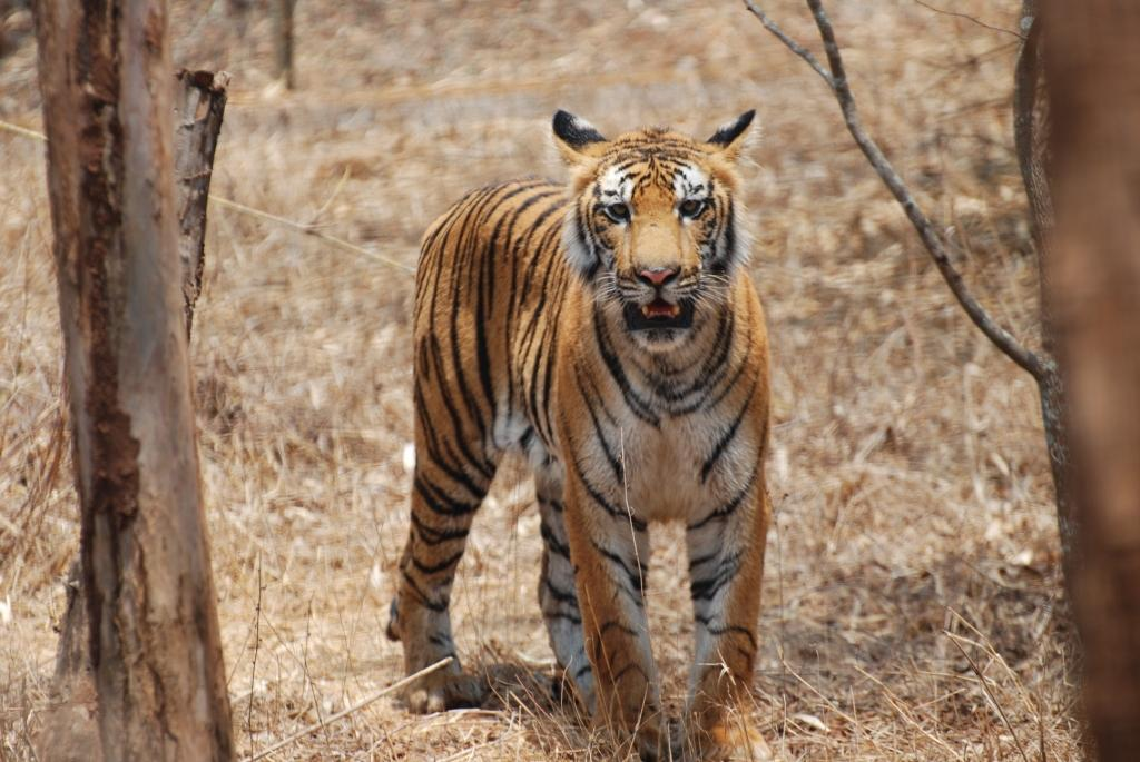Bengal Tiger, Karnataka Credit: Flickr