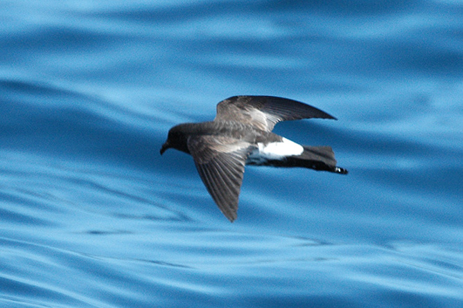 Come back! The New Zealand storm petrel (Source: Aviceda at English Wikipedia)