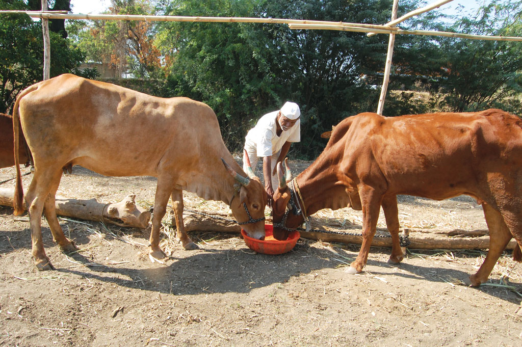 Maharashtra government has announced the setting up of 150 cattle camps in drought-hit districts