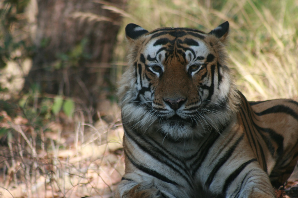 Global tiger population up by 22 per cent