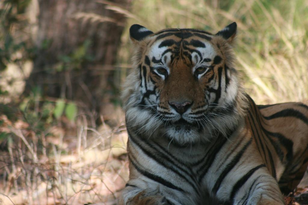 Tigers are classified as endangered by the IUCN Red List of Threatened Species, threatened by poaching and habitat loss (Photo: Sunita Narain)