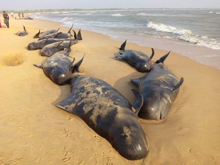 Short-fin Pilot whales stranded on the beach at Tuticorin   Photographs by special arrangement