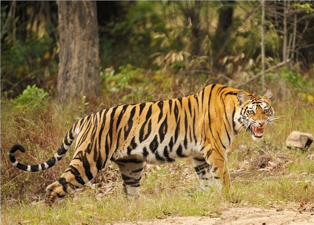 India has lost 41 per cent of tiger habitat in 17 years