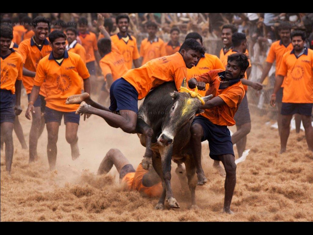 Jallikattu in a village near Madurai  Credit: Flickr