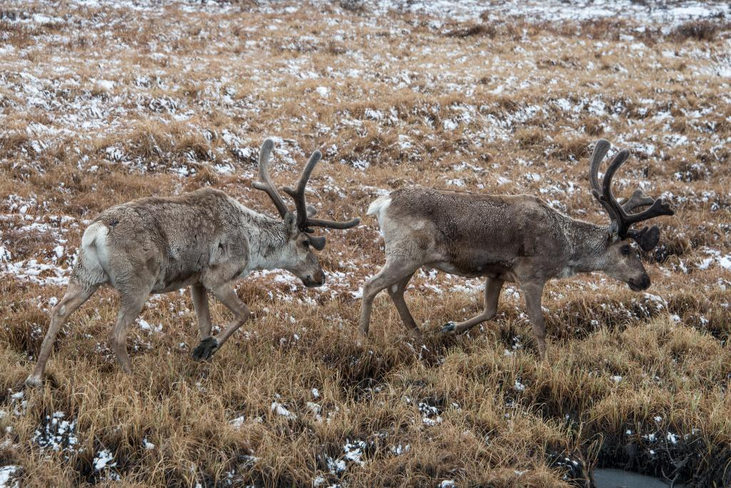 Caribou in the Denali National Park, Alaska. Photo: Flickr
