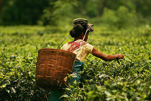 Sharp cut in tea board budget will impact tea industry says Parliamentary Panel
