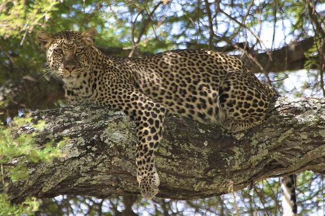 The leopard is the most elusive of all big cats